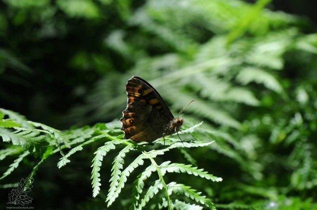 "Encontro a borboleta malhadinha ""Pararge aegeria""."