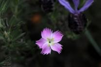 """Cravinas-bravas """"Dianthus lusitanus"""""""