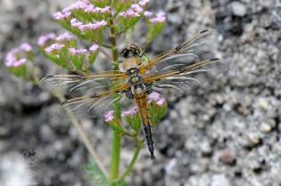 """Macho. Libélula-de-quatro-pintas """"Libellula quadrimaculata"""" macho."""