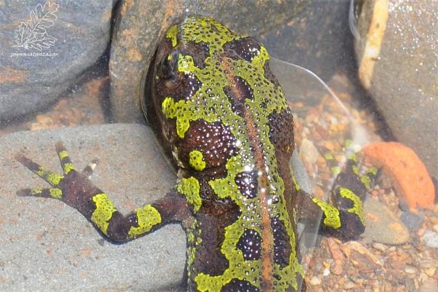 Tritão-marmoreado-pigmeu ou tritão-pigmeu (Triturus pygmaeus).