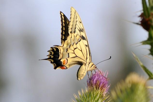 Borboleta-cauda-de-andorinha Papilio machaon