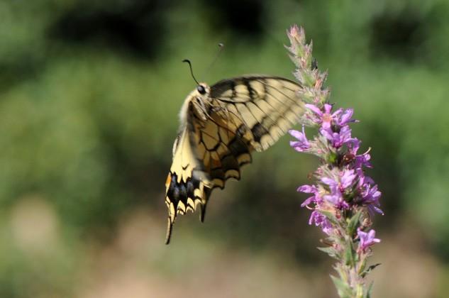 Apesar de existirem insectos que batem as asas a velocidades incríveis, a borboleta-cauda-de-andorinha apresenta uma marca muito modesta, cerca de 300 batimentos por minuto…