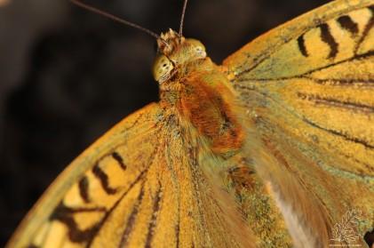 "O olhar da borboleta-cardinal ""Argynnis pandora """