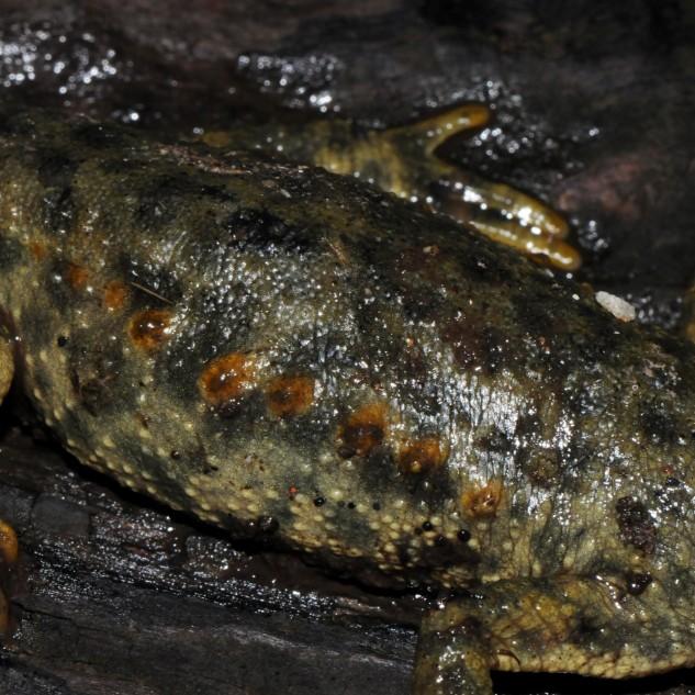Salamandra-de-costelas-salientes