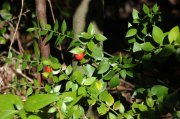 "Gilbardeira ""Ruscus aculeatus"""