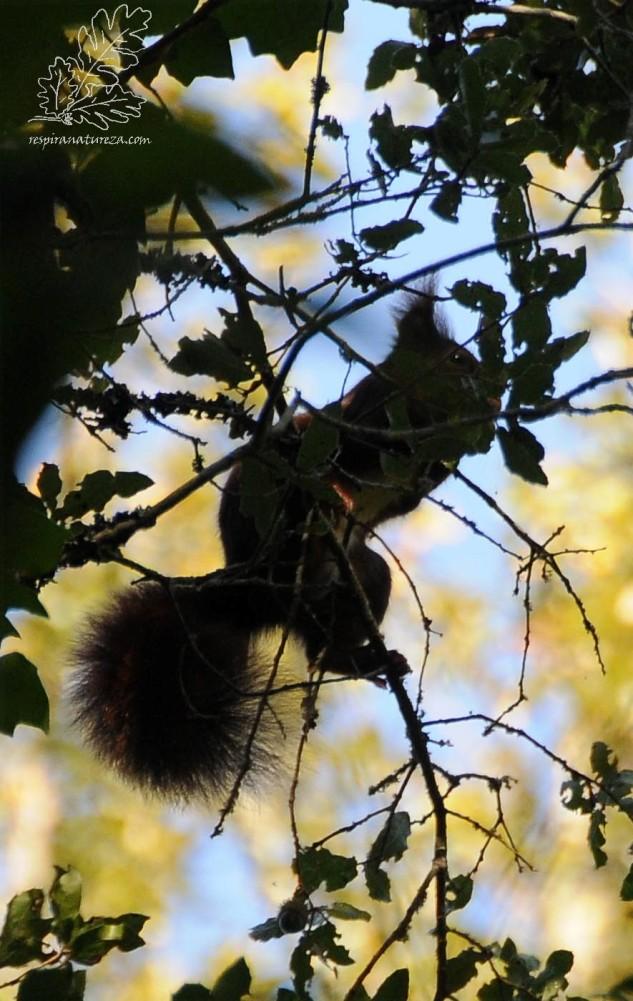 """Esquilo-vermelho """"Sciurus vulgaris"""""""