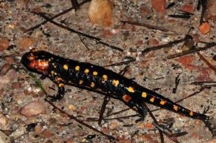 """Uma salamandra-de-fogo """"Salamandra salamandra"""" reparem nas manchas arredondadas a amarelo."""