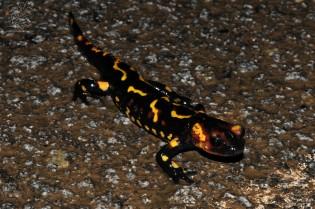 """salamandra-de-fogo """"Salamandra salamandra"""" Neste caso as manchas amarelas são mais alongadas.."""