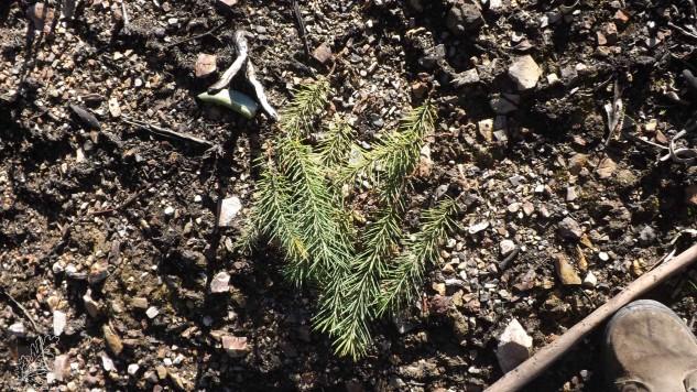 Por ali começam a germinar háqueas-espinhosas, uma planta invasora a eliminar.