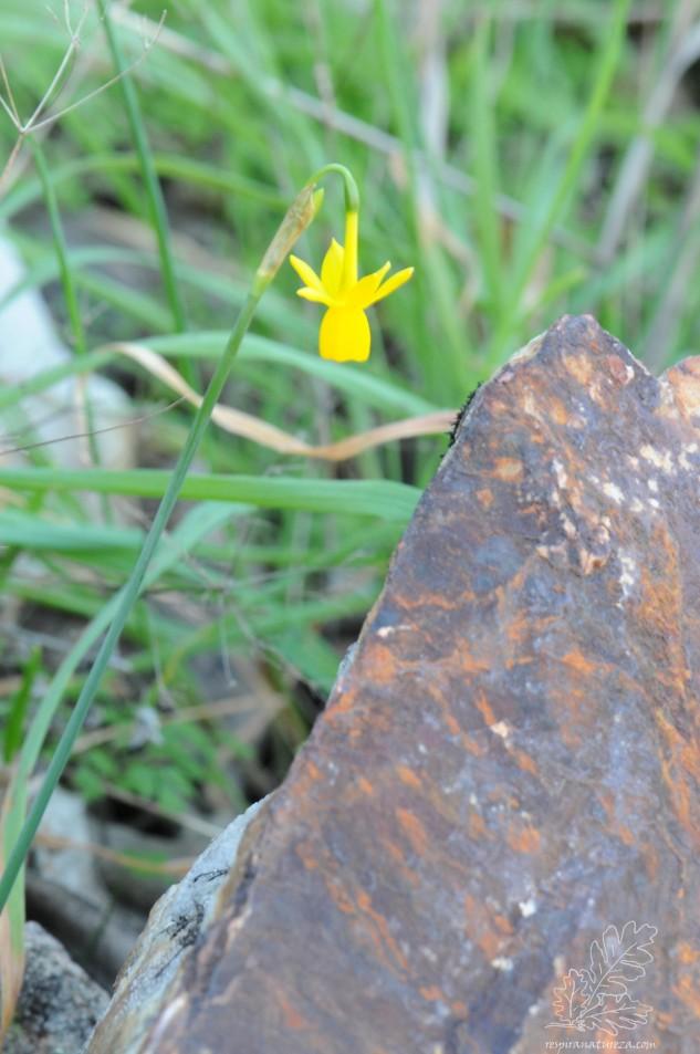 Campainhas-portuguesas, também conhecidas por narcisos Narcissus triandrus subsp. lusitanicus.