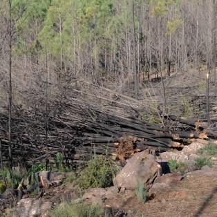 Pilha de pinheiros retirados do local.