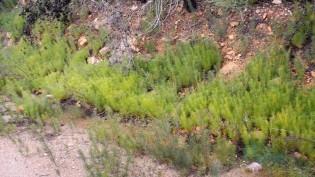 Pinheiro-ratinho também conhecido como Háquea-espinhosa.