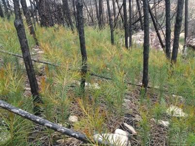 Depois do ultimo incêndio as sementes começaram a germinar por todo o lado.