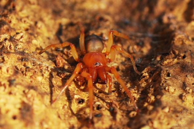 Dysdera crocata, também conhecida como aranha-dos-bichos-de-conta.