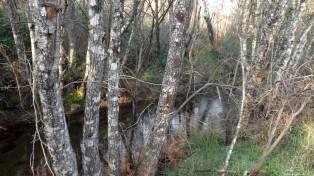 Se atrás tínhamos as invasoras acácias, mais à frente encontro os nativos amieiros. Uma árvore muito mais bonita.