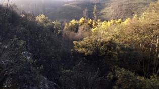 As bonitas flores amarelas que vejo na ribeira são traiçoeiras, originárias da Austrália estas grandes acácias abafam por completo todas as outras plantas abaixo das suas copas…