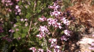 """Torga-vermelha """"Erica australis subsp. australis"""""""