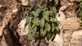 """Apesar de não ter flores ainda, trata-se do """"estevão"""" (Cistus populifolius L. )"""