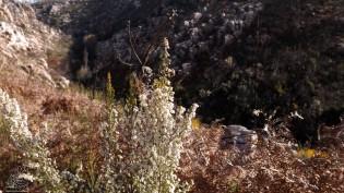 """Urze branca """"Erica arborea L."""""""