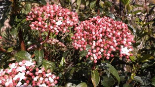 """Folhado """"Viburnum tinus L."""""""
