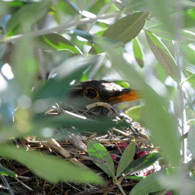 Este ninho estaria a cerca de 3 metros do solo no ramo de uma oliveira.