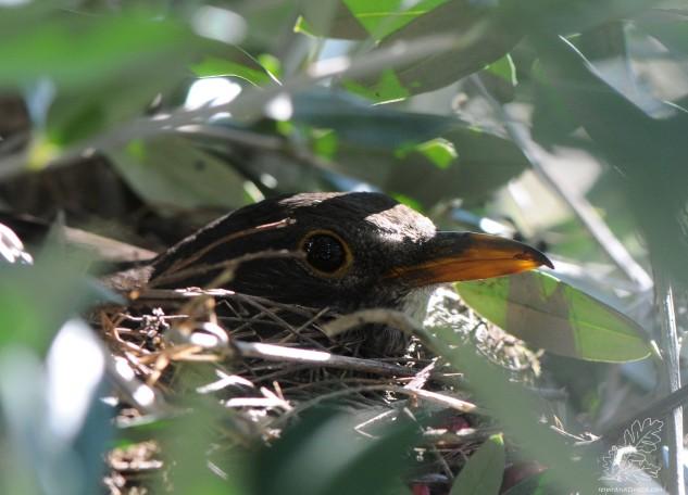 Aqui a fêmea no ninho.