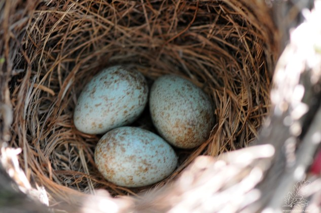 Os ovos são de cor azul, esverdeados com manchas acastanhadas, normalmente entre 3 e 5 ovos.