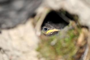 É um ninho de andorinha-dáurica, no entanto não estão ali a criar andorinhas…tem outros habitantes.