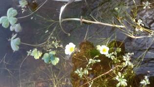 """Ranúnculo-aquático """"Ranunculus peltatus""""."""