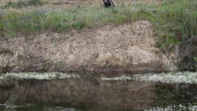 Andorinha-das-barreiras