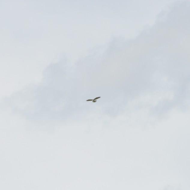 No céu uma ave de presa sonda o solo em busca de alimento.