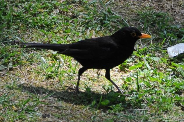 O melro Turdus merola, é uma das aves mais comuns e conhecidas no nosso país. Sobretudo o macho todo preto com o bico e a anel ocular cor de laranja.