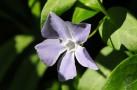 """""""Vinca Sp"""", uma planta com um porte herbáceo rastejante que alegra os campos por aqui."""