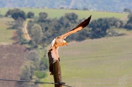 Não tive muito tempo para fazer o gosto ao dedo, estava com uma lente que não me permitia fotografar de muito longe, e rapidamente fui detetado, pelo que a ave se lançou em voo pelo vale abaixo.