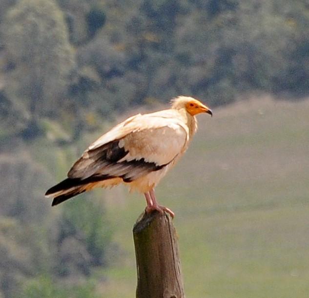 Também é conhecido como abutre-do-Egipto, o britango é uma ave rapina com uma envergadura de cerca 160 cm.
