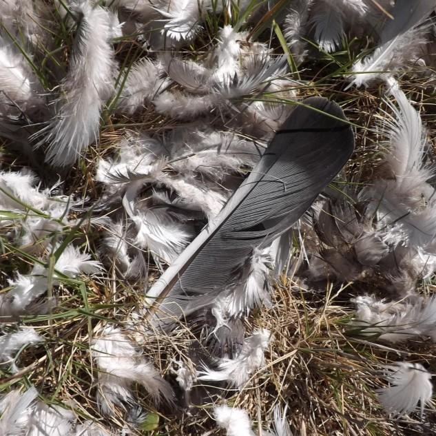 Mais à frente vestígios de uma caçada bem-sucedida, pelo estado das penas terá sido uma rapina a devorar aquele pombo, sinal que apesar de moribunda, a natureza continua a funcionar por aqui.