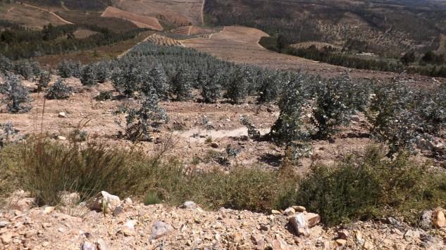 Na vertente virada a Este, a paisagem já está muito alterada, grandes plantações de eucalipto surgem pela serra abaixo.