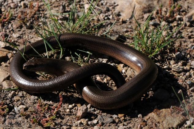 Apesar de se aparentar com uma serpente, é um lagarto....