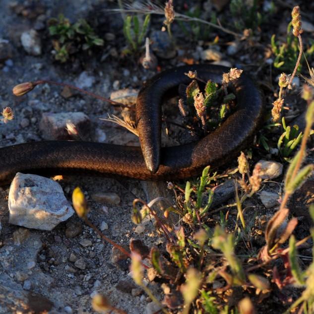 """A cauda deste lagarto é grossa, e tal como todos os outros, pode """"larga-la"""" em caso de perigo..."""