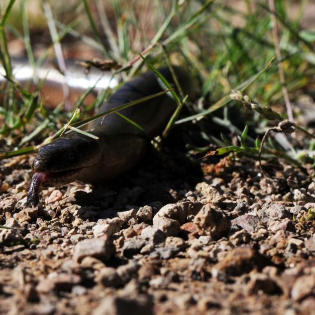 A língua é dividida em vez de bifurcada, como acontece nas cobras...