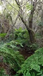 Por ali o feto-real Osmunda regalis é rei, sob a sombra das árvores vai pontuando as margens da ribeira…