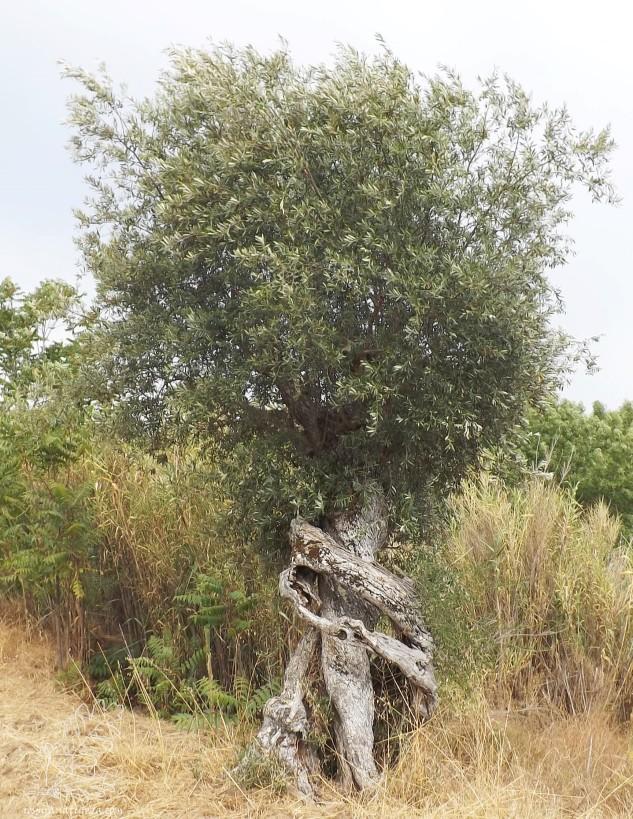 Esta oliveira é uma autentica obra de arte, não acham!?