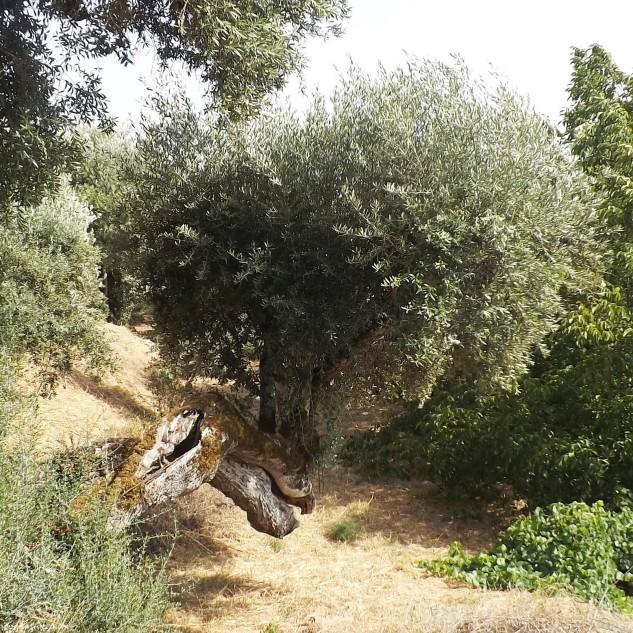 """Oliveira """"Olea europaea"""". Uma árvore com grande longevidade."""