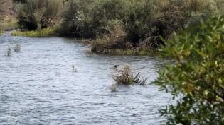 Uma garça-real pesca nas águas do rio Tejo...