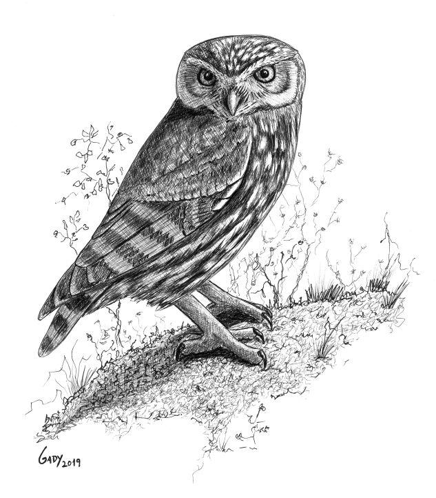 """O mocho-galego, """"Athene noctua"""" é uma das aves nocturnas que podemos encontrar nesta zona."""