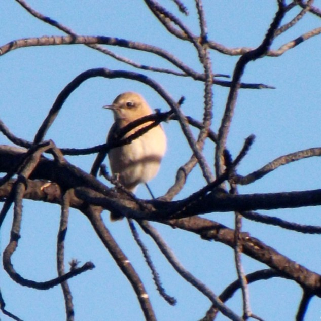 Um chasco-ruivo fêmea deixa-se fotografar, esta espécie com o final do verão voará para longe pois é uma espécie estival. Apenas está por cá na época de reprodução.