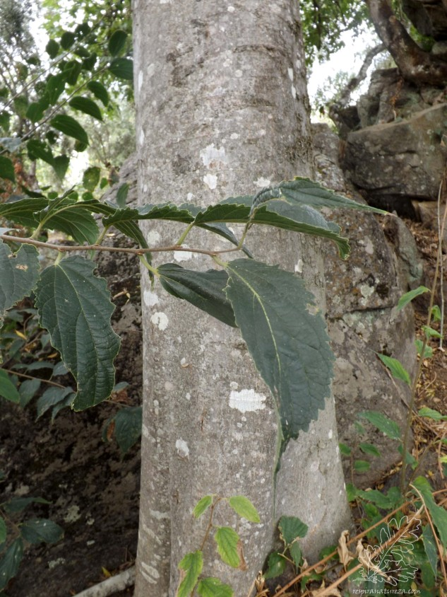 O tronco desta árvore é de cor acinzentada, liso e recto.