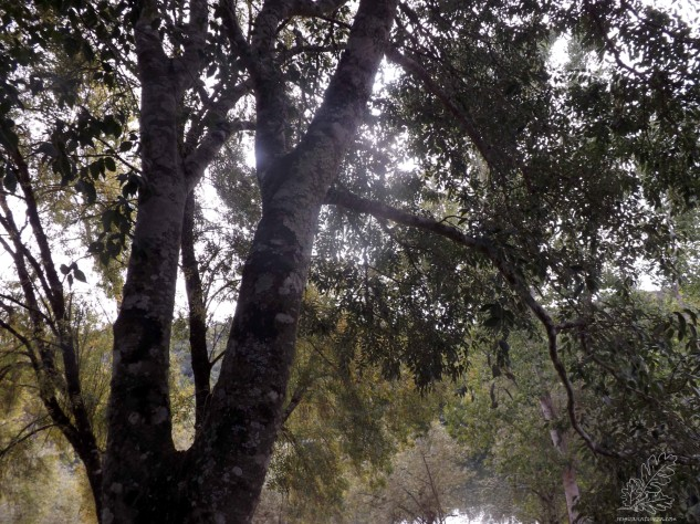 O lodão é uma árvore bonita e frondosa de folha caduca.