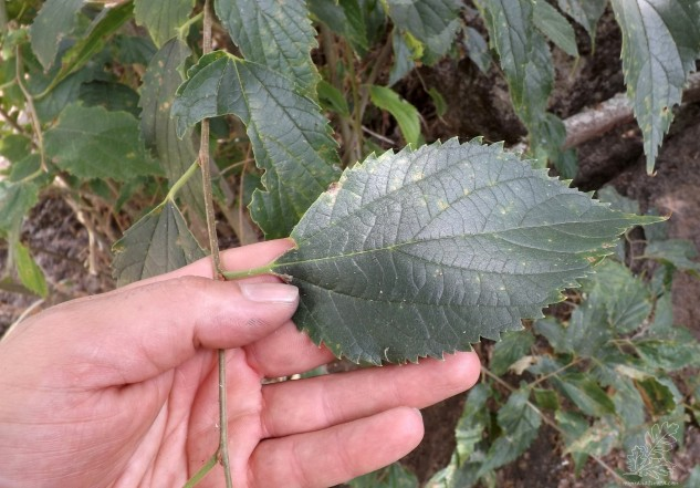 """As folhas como podem ver na foto são ovado-lanceoladas e serrilhadas na orla, com cerca de 15 cm. Na parte superior são algo ásperas, já na parte inferior apresentam """"pelos"""" curtos parecendo que estamos a passar o dedo sobre veludo."""