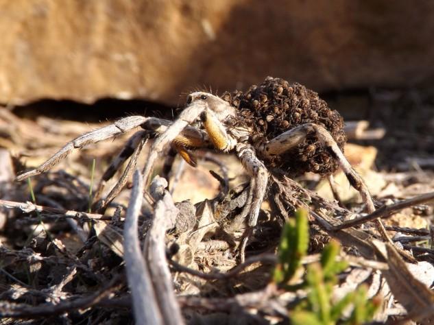 Este espécime teria cerca de 7 cm e era uma fêmea, que neste caso carregava a prole às costas, tal como em outras espécies também nesta o macho é mais pequeno.
